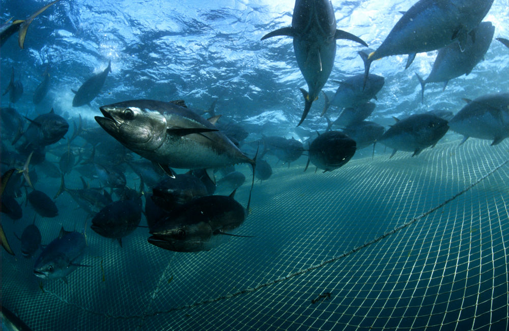 Southern bluefin tuna (Thunnus maccoyii)